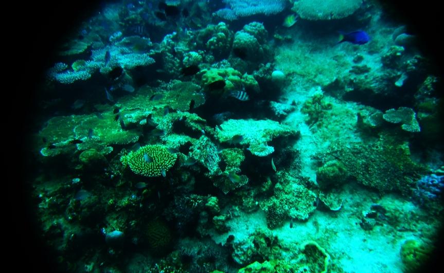 Calachuchi-Coral-Eden